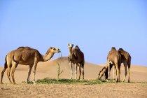 Kamele, die zu Fuß über die Wüste, mit Sanddünen, Vereinigte Arabische Emirate — Stockfoto