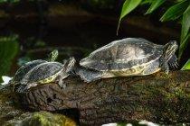 Tre tartarughe sul ramo in legno all'aperto — Foto stock