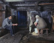 Buerin and farmhand milk a cow in the old stable of a mountain farm, Tyrol, Austria — Stock Photo