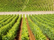 Vinhas na Borgonha, França, Burgundy — Fotografia de Stock