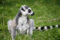 Lemur sitzend auf dem grünen Rasen wegschauen — Stockfoto