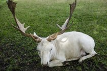View of White fallow deer lying on grass — Stock Photo