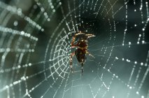 View of Araneus spider sitting on web — Stock Photo