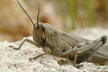 View of migratory locust on ground outdoors — Stock Photo