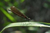 NET-geflügelte Insekt auf grünes Blatt über der Hintergrund jedoch unscharf — Stockfoto