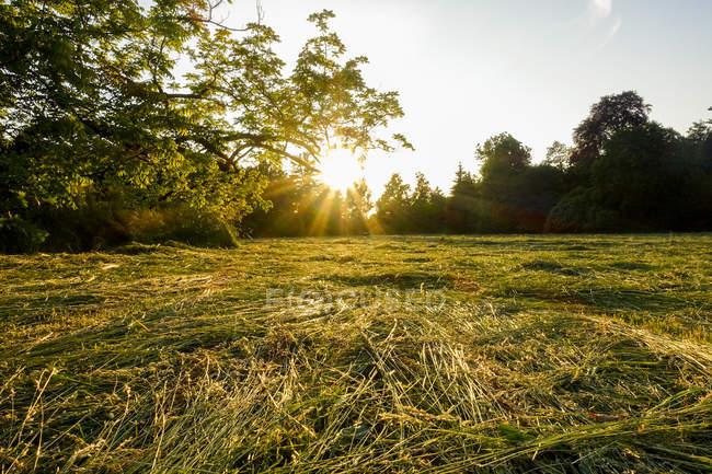 Grama verde em campo com árvores contra o sol — Fotografia de Stock
