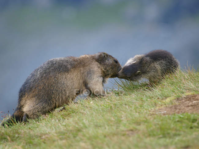 Marmots touching nose by nose over green grass — Stock Photo