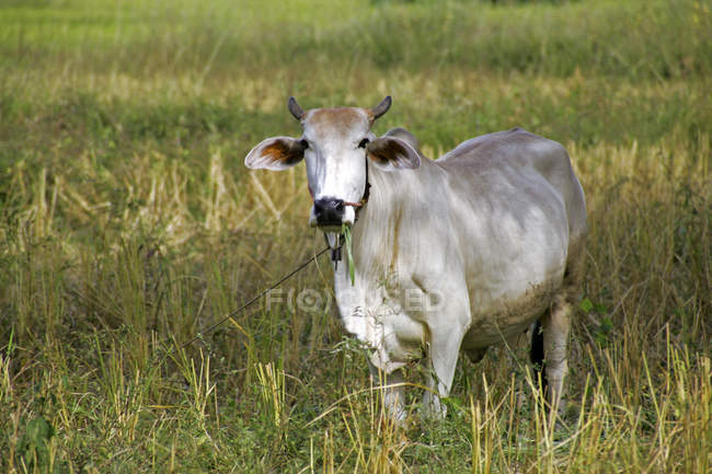 Full length of cow over green grass — Stock Photo
