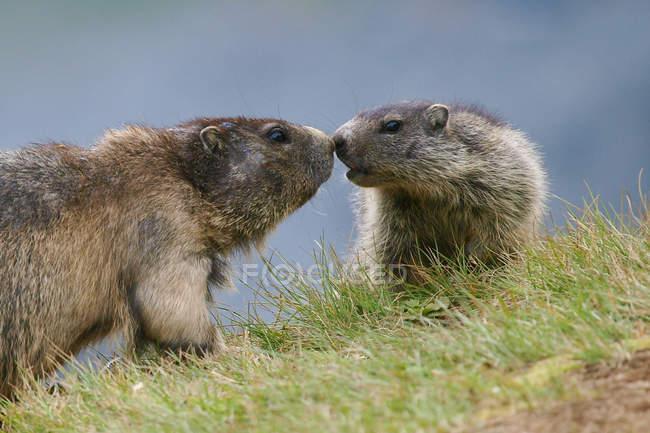 Marmotte toccando naso a naso sopra erba verde — Foto stock