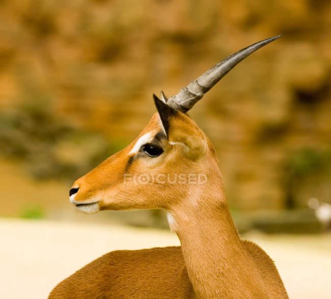 Demi-longueur de gazelle en regardant loin sur flou fond — Photo de stock
