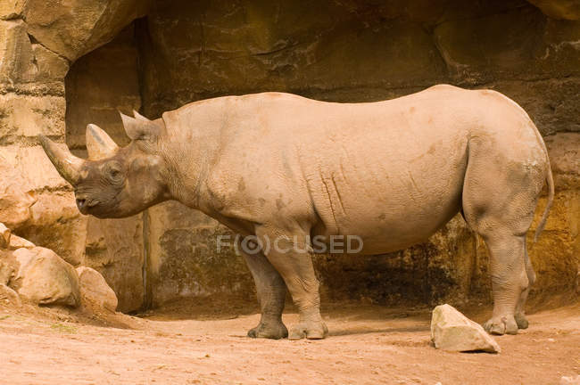 Full length view of rhinoceros against wall — Stock Photo