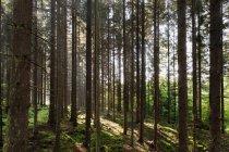 Alberi di pino e di erba verde in pieno sole — Foto stock