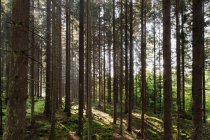 Pins et herbe verte en plein soleil — Photo de stock