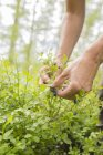 Close-up of female hands picking blueberries — Stock Photo