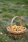 Wicker basket of fresh picked chanterelle mushrooms — Stock Photo