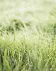 Cerrar tiro de hierba mojada en la luz del sol - foto de stock