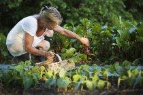 Mujer madura cosechando verduras y mirando hacia abajo - foto de stock