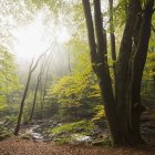 River and green forest trees in mist — Stock Photo