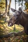 Front view of moose in zoo at autumn — Stock Photo