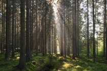 Pine forest trees and moss in bright sunlight — Stock Photo