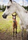 Молоді та дорослих roan коней на зеленій галявині — стокове фото