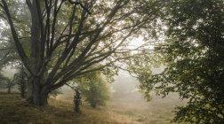 Eichen im morgendlichen Nebel — Stockfoto