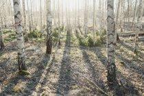 Vista dei tronchi d'albero in controluce solare — Foto stock