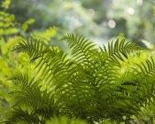 Grüne Farn Blätter im Gegenlicht der Sonne — Stockfoto