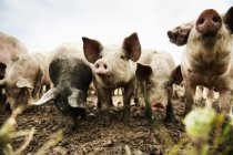 Front view of dirty pigs in pasture — Stockfoto