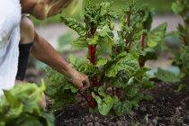 Donna matura che raccoglie verdure, attenzione differenziale — Foto stock