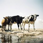 Four cows on sandy beach in bright sunlight — Stock Photo