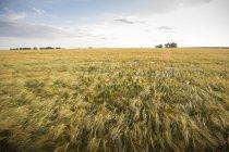 Подання поля жита під Синє небо хмарно — стокове фото