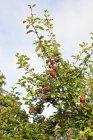 Pommes rouges sur pommier avec un ciel bleu sur fond — Photo de stock