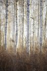 Trunks of birch trees in autumn forest — Stock Photo