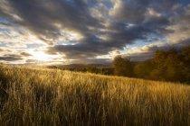 Champ de plantes agricoles céréales sous ciel nuageux — Photo de stock