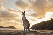 In piedi di canguro sulle zampe posteriori sulla spiaggia al tramonto — Foto stock