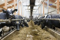Cows in dairy farm — Stock Photo