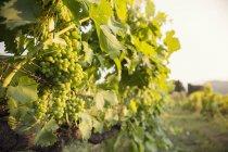 Primer plano del racimo de uvas verdes en el viñedo - foto de stock