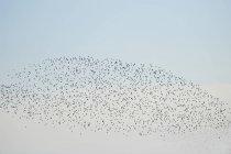 Flock of birds flying in blue sky — Stock Photo