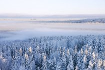 Aerial view of pine forest at winter — Stock Photo