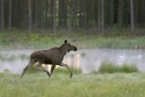 Side view of female moose running — Stock Photo