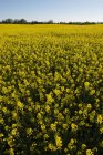 Blühendes Rapsfeld unter blauem Himmel — Stockfoto