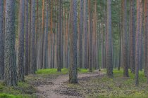 Dirt track between pine trees and moss in forest — Stock Photo
