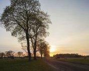 Vacas que pastam em campos verdes ao pôr do sol — Fotografia de Stock