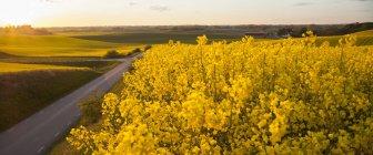 Blühendes gelbes Ölsaatenfeld im Sonnenuntergang — Stockfoto