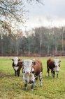 Три биків на пасовищі, дивлячись на камеру — стокове фото