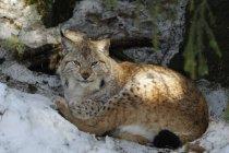 Lynx sdraiato su un terreno innevato e guardando la fotocamera — Foto stock
