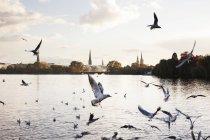 Gabbiani che volano sopra l'acqua del fiume, Amburgo, Germania — Foto stock