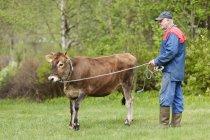 Старший фермер, стоящий с молодым быком на поле — стоковое фото