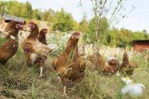 Manada de pollo de pastoreo en pasto verde - foto de stock
